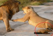 Levy a zranená líška