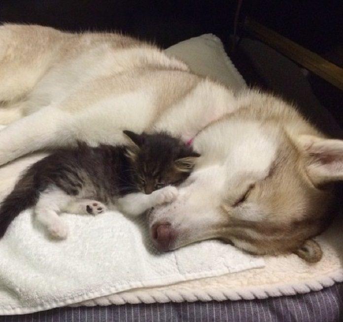 husky mačiatko pes