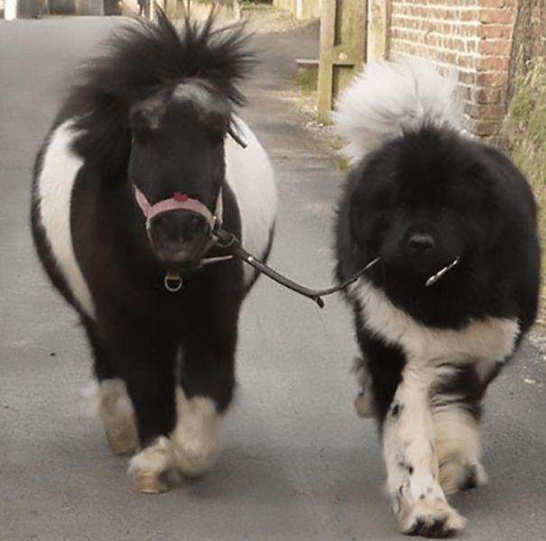 ponik a pes