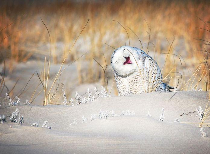 Snežná sova smiech