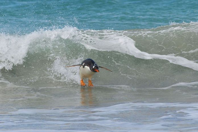 Tučniak surfuje