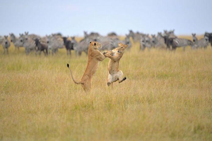 Tancujúce levy