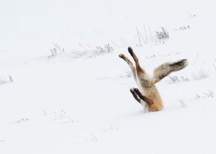Líška v snehu