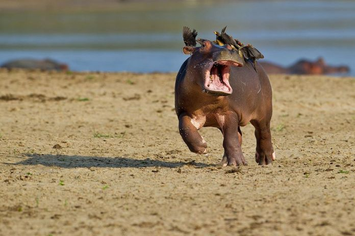 Hroch uteká pred vtákmi