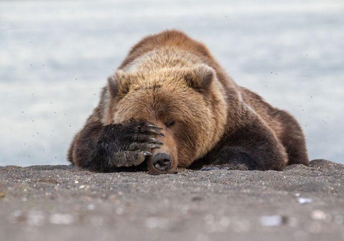 Medveď facepalm