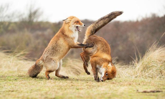Líšky si kontrolujú zadok