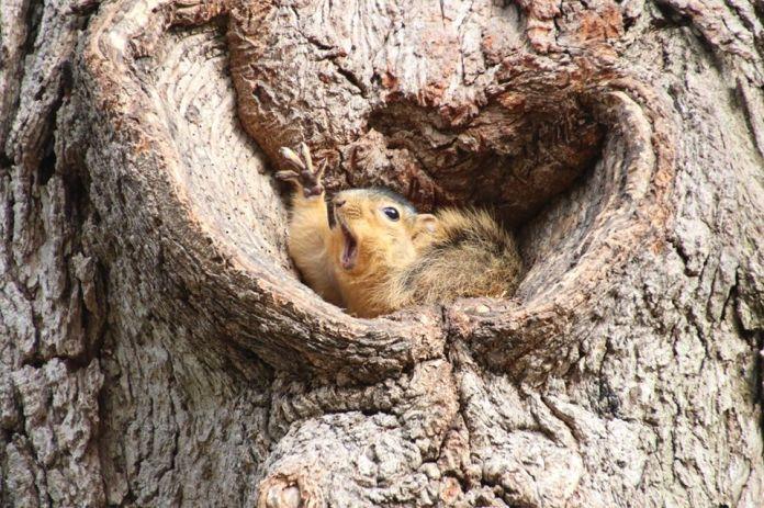 Veverička kričí