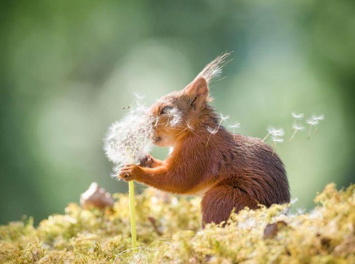 Veverička s púpavou